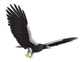 Sea Eagle 02 PNG Stock by Roy3D