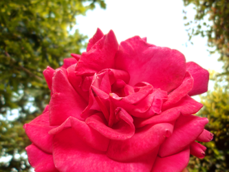Pink : Rose by Ludo61