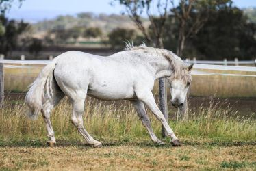 HH Grey Andalusian Stallion side view by Chunga-Stock