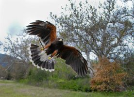 Flying Harris hawk by FeatheredSamurai