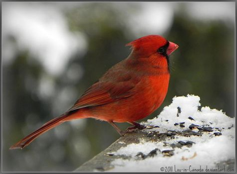 Cardinal U may print n use for Holiday Crd Project by Lou-in-Canada