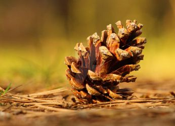 Pine cone in spring by kad-portraits