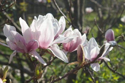 Magnificent Magnolia by organblower