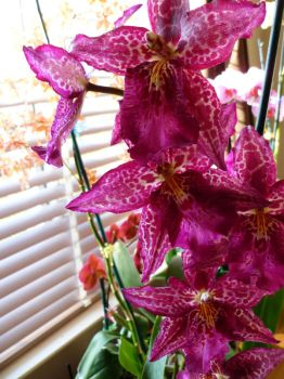Deep Pink Orchids by Pony-graphy