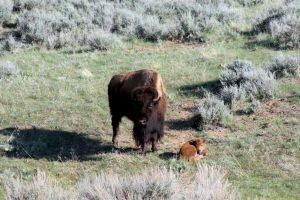 Motherly Love of a Bison by Nestor2k