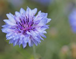 cornflower... by clochartist-photo