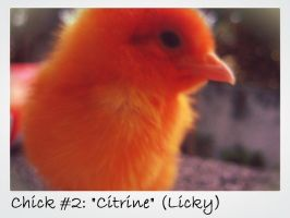 Another Chirpy Chick Thing by Roxyielle
