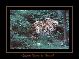 Leopard Eating by caracal