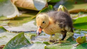 Curious Duckling by OliverBPhotography