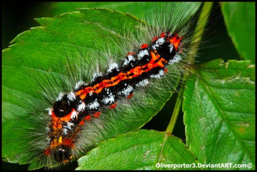 Yellow Tail Caterpillar by oliverporter3
