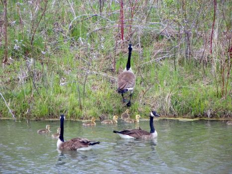 Goose Family 2 by kbcollins