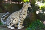 Snow Leopard 009 by Elluka-brendmer