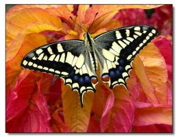 Swallowtail by mgm-photo