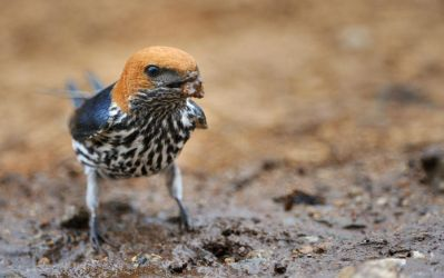 Lesser Striped Swallow - 2 by NagWolf