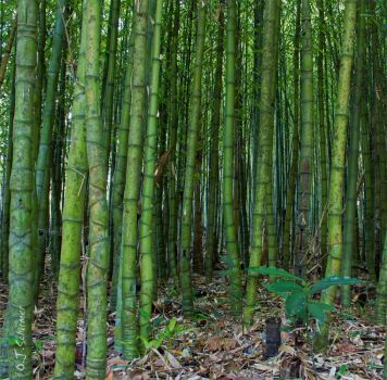 Azores bamboo by Sockrattes