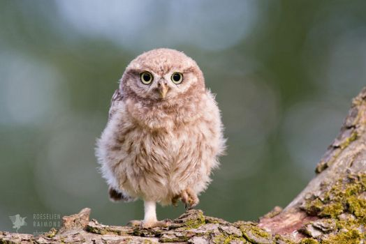 Little Owl Chick by thrumyeye