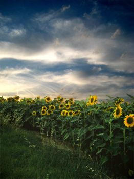 sunflowers by Leoggi