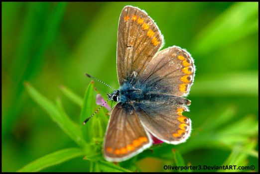 Male Common Blue Butterfly by oliverporter3