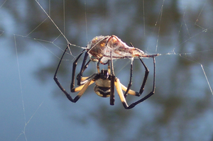 Spider Wrapping Prey by equestrian88