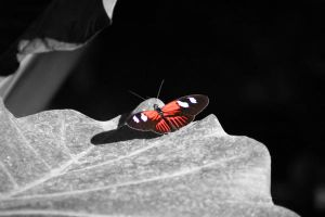 Postman Butterfly on a Leaf by missheru