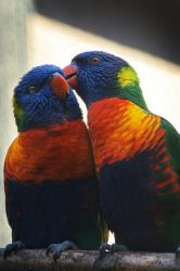 _lorikeets 03 by Bloddroppe-nature