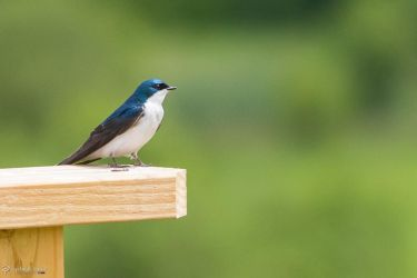 Tree swallow by CyclicalCore