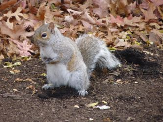 Another Squirrel Photo by Rasylver