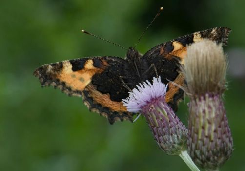 red admiral and thistles by Glenn0o7