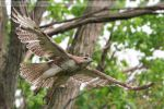 Red-tailed Hawk 8395 by Sooper-Deviant