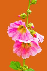 Hollyhock by quintmckown