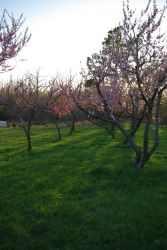 Peach Orchard 1 by InKi-Stock