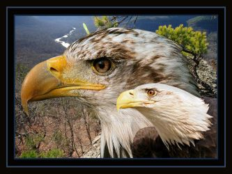 Two Eagles Stand by phatmoma