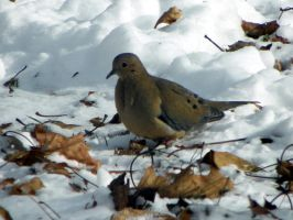 Mourning Dove in the Snow by kbcollins