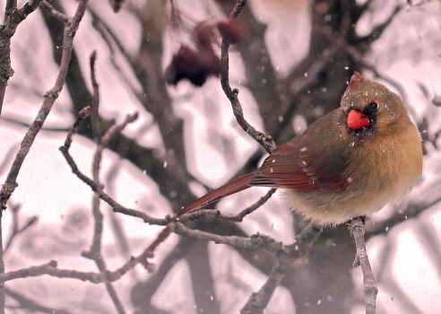 Cardinal in a Snowstorm by Martzart
