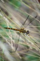 GOLDEN DRAGONFLY by zraclooc