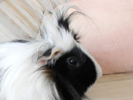 Herman The Guinea Pig by Blueeyes0001