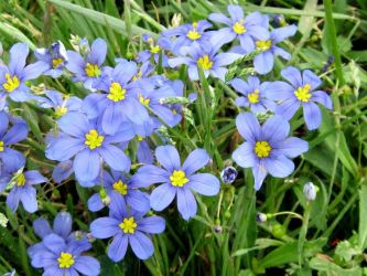 Blue-eyed Grass by Neriah-stock