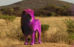 pink lion very rare in the world by AkNiazi