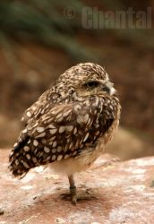 owl on the watch by ChantalLikesYou