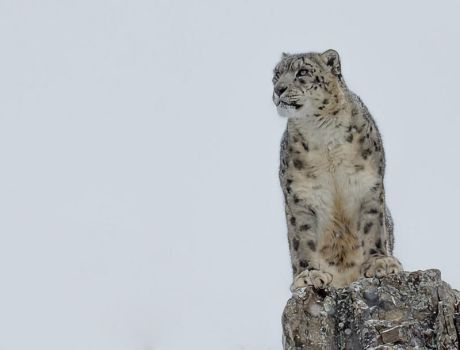 Mountain top Snow Leopard by White-Voodoo