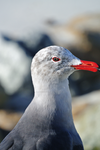 Heermann's Gull by DracoFeathers