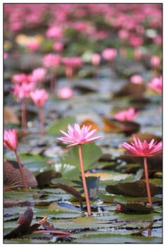 lotus forest No. 5 by areefeen