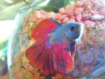 INFERNO the betta fish 3 by pockels