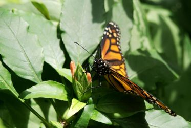 Monarch Butterfly Closeup by DaNoodleBox