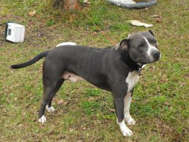 Gray Pitbull 1 - stock by fallbreak-stock
