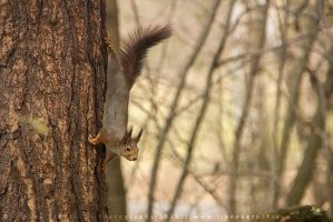 Red Squirrel by linneaphoto