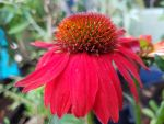 I GOT RED ECHINACEA AS A GIFT FROM GISELLE by DAGAIZM
