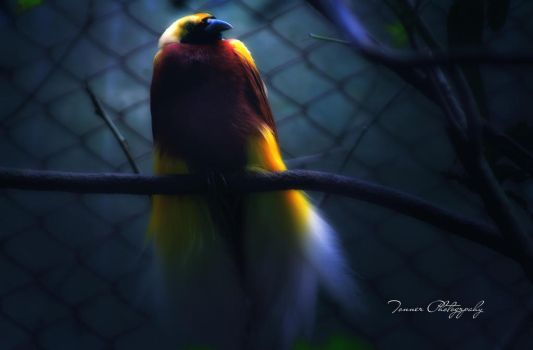 Bird Of Paradise II by tonnerphotography