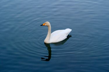 Lonely swan by erysfoly