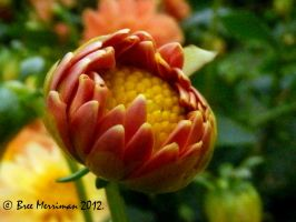 Dahlia Flower Bud by BreeSpawn